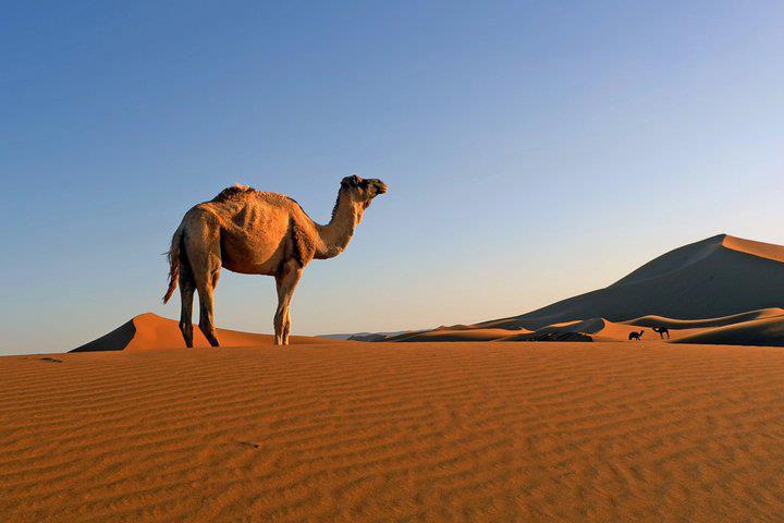 Camel Trekking Sahara Garden