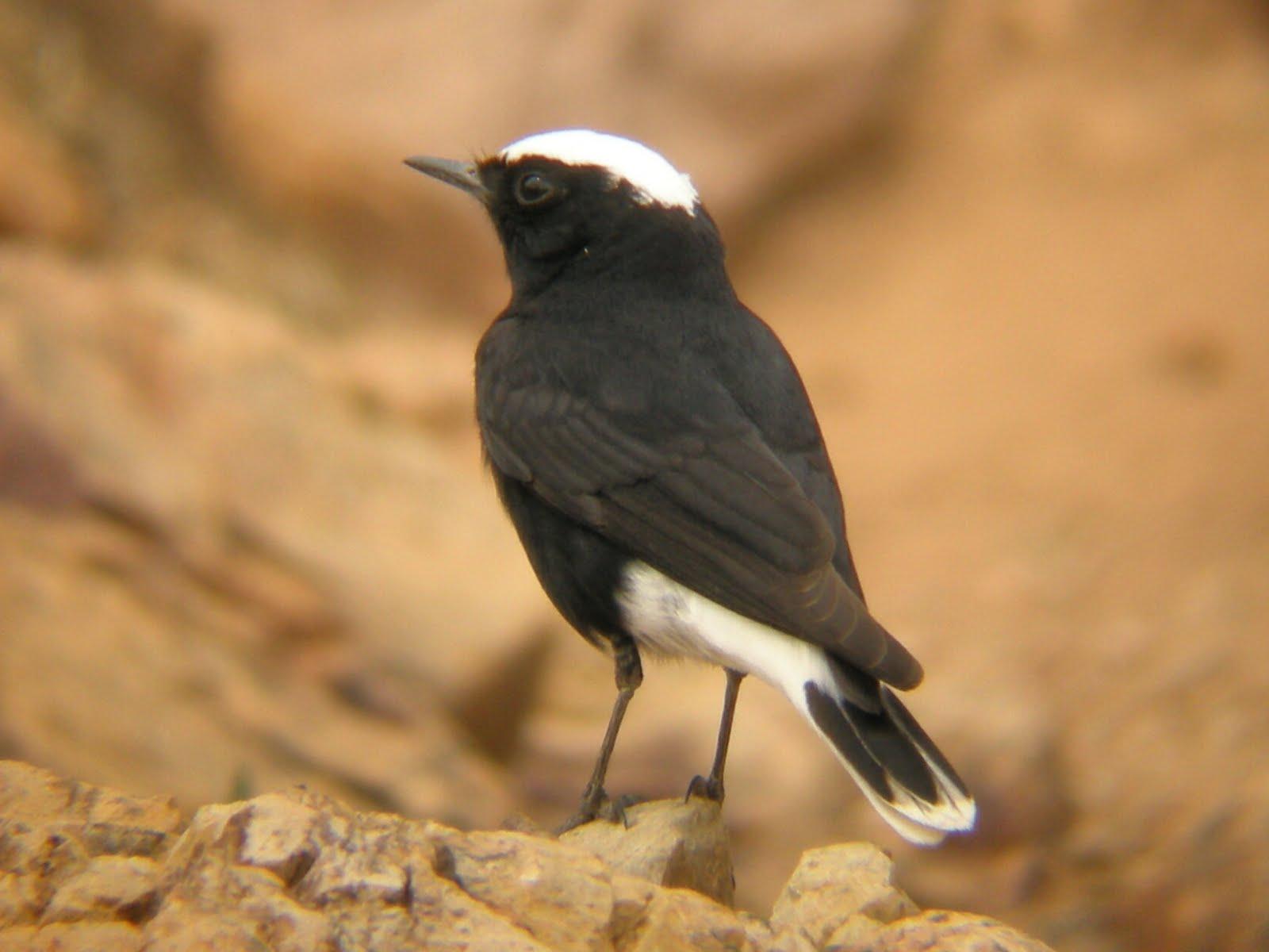 Sahara Desert bird life