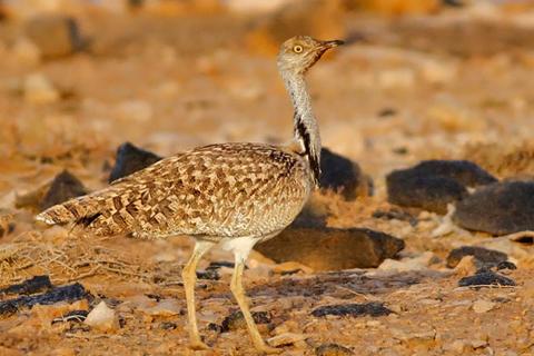 Sahara Desert Bird – the rare Houbara Bustard