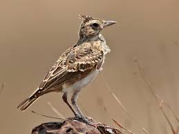 Crested lark at desert camp