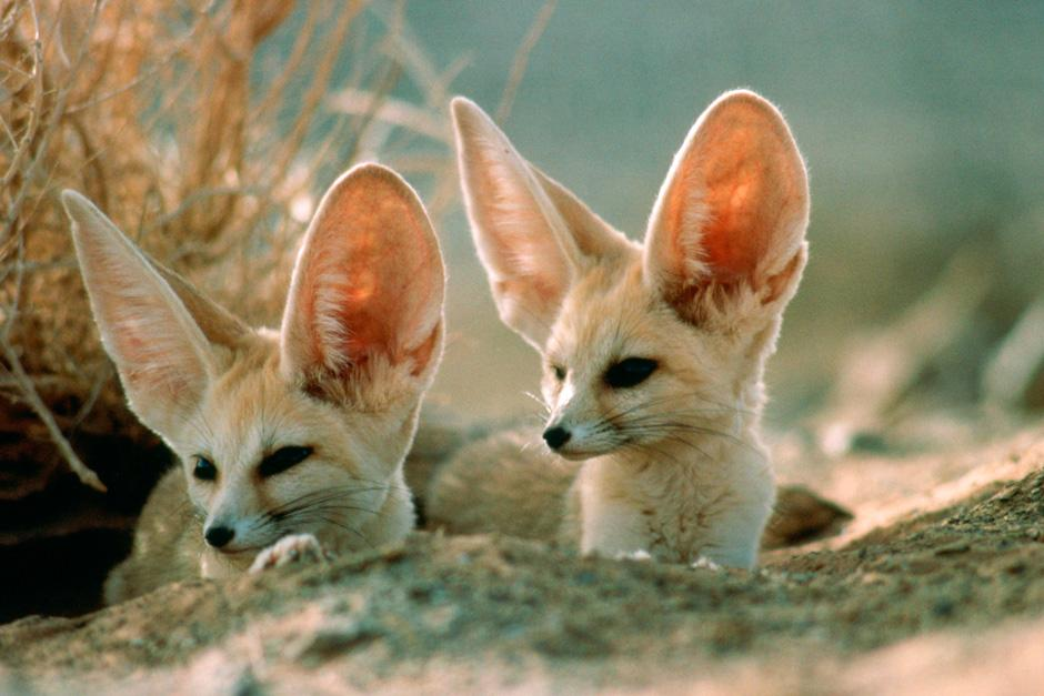 The Fennec fox (whose large ears cool their temperature and aid with nocturnal hearing)
