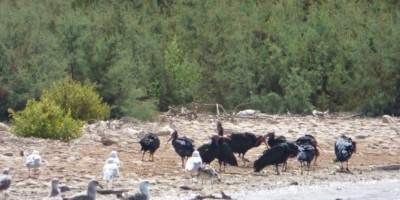 Bald Ibis flock HBWC